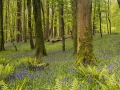 bluebells-ross-island